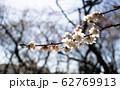 梅の花 62769913