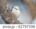 冬のシマエナガ 62797396