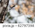 冬のシマエナガ 62797398