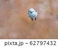 冬のシマエナガ 62797432