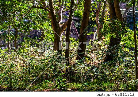 森のクマザサ 62811512