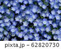 花博記念公園鶴見緑地のネモフィラ 62820730