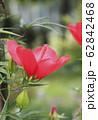 真っ赤なモミジアオイの花   62842468
