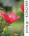 真っ赤なモミジアオイの花   62842469