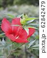 真っ赤なモミジアオイの花    62842479