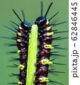 Caterpillars eat on leaves 62846445