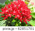 ペンタスの花言葉は願いがかなう。星を思わせる花の姿からついたもの。大切な人への贈り物としてピッタリ。 62851701