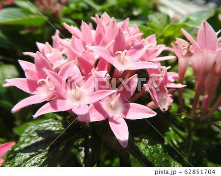 ペンタスの花言葉は願いがかなう。星を思わせる花の姿からついたもの。大切な人への贈り物としてピッタリ。 62851704