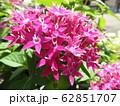 ペンタスの花言葉は願いがかなう。星を思わせる花の姿からついたもの。大切な人への贈り物としてピッタリ。 62851707