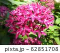 ペンタスの花言葉は願いがかなう。星を思わせる花の姿からついたもの。大切な人への贈り物としてピッタリ。 62851708