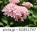 ペンタスの花言葉は願いがかなう。星を思わせる花の姿からついたもの。大切な人への贈り物としてピッタリ。 62851747