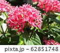 ペンタスの花言葉は願いがかなう。星を思わせる花の姿からついたもの。大切な人への贈り物としてピッタリ。 62851748