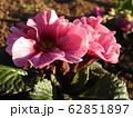 プリムラは冬に咲く貴重な花である。花言葉は、「運命を開く」であり、大切な人への贈りものに最適。 62851897