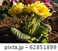 プリムラは冬に咲く貴重な花である。花言葉は、「運命を開く」であり、大切な人への贈りものに最適。 62851899