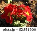 プリムラは冬に咲く貴重な花である。花言葉は、「運命を開く」であり、大切な人への贈りものに最適。 62851900