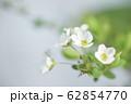 ユキヤナギ 62854770