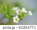 ユキヤナギ 62854771
