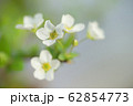 ユキヤナギ 62854773