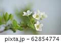 ユキヤナギ 62854774
