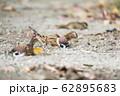 スズメの砂浴び 62895683