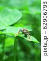 クローバの葉の上に乗る昆虫 62906793