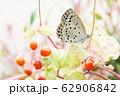 花の中のシジミチョウ 62906842