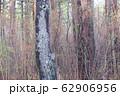 木立に佇むリス 62906956