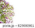 満開の花 62906961