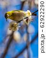 梅の木とメジロ 宮城県白石市 62922290