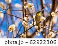 梅の木とメジロ 宮城県白石市 62922306