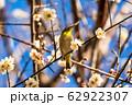 梅の木とメジロ 宮城県白石市 62922307