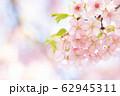 河津桜 春 花 満開 アップ ピンク色 62945311