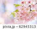 河津桜 春 花 満開 アップ ピンク色 62945313