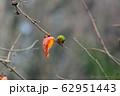 柿の葉と、メジロ 62951443