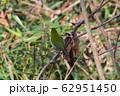 竹藪のメジロ 62951450