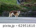 野犬 62951610