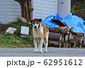 野犬 62951612