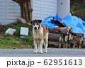 野犬 62951613