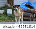 野犬 62951614