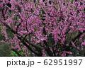 桃の花(背景素材) 62951997