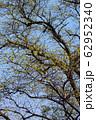 大木の新緑 62952340