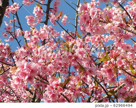 稲毛海岸駅前の河津桜満開です 62966494