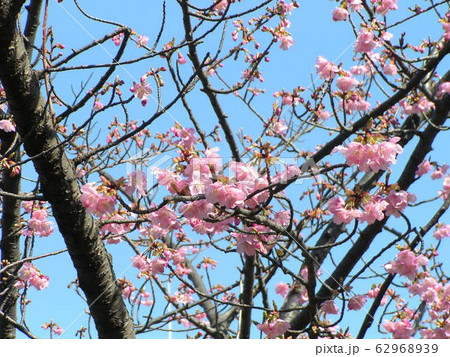 稲毛海岸駅前の河津桜5分咲きです 62968939