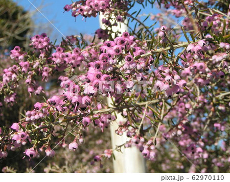 可愛い小さい桃色の花エリカ 62970110