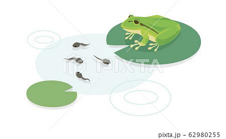 カエルとオタマジャクシ 62980255