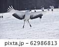 給餌場に舞い降りる丹頂(北海道・鶴居) 62986813