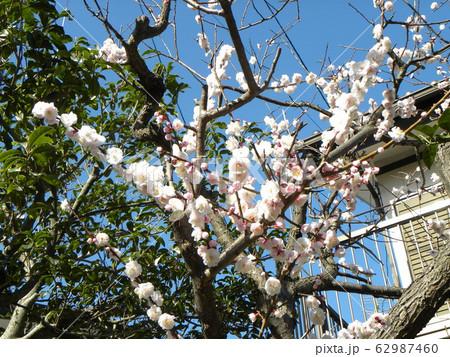 我が家の白い梅の花が満開です 62987460