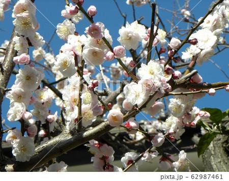 我が家の白い梅の花が満開です 62987461