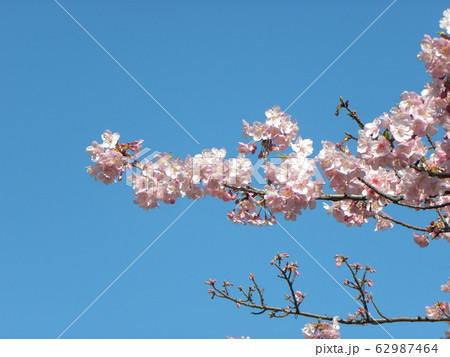 稲毛海岸駅前の河津桜が満開です 62987464