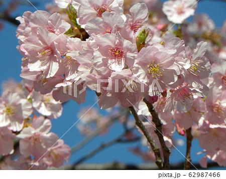 稲毛海岸駅前の河津桜が満開です 62987466